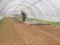 Preparazione del campo per l'insalata