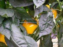 Peperoni gialli pronti da raccogliere