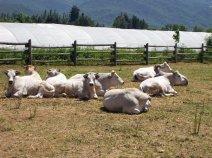 Non solo stalla: le nostre mucche pascolano all'aperto