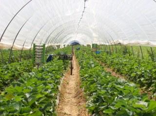 """Una coltivazione """"tradizionale"""" di fragole"""